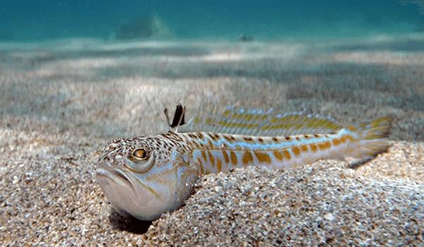 Фото: Рыба дракон в Черном море