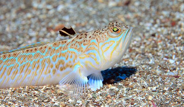 Фото: Морская рыба дракон