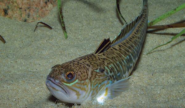 Фото: Как выглядит рыба дракон