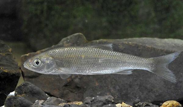 Фото: Рыба елец