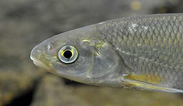 Фото: Речная рыба елец