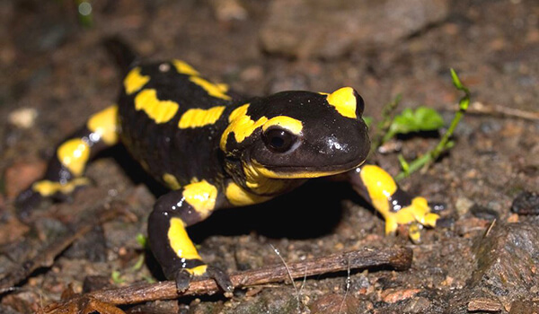 Фото: Как выглядит саламандра