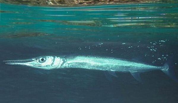 Фото: Рыба сарган