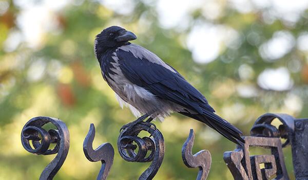 Фото: Серая ворона в России