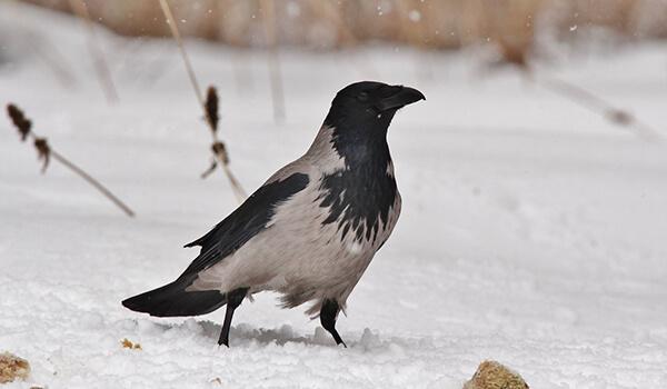 Фото: Серая ворона зимой