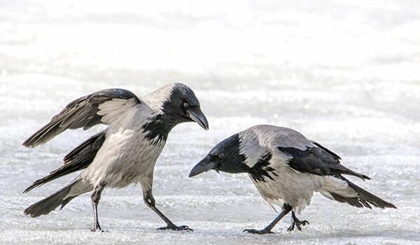 Фото: Как выглядят серые вороны