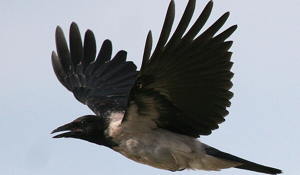 Фото: Серая ворона в полете