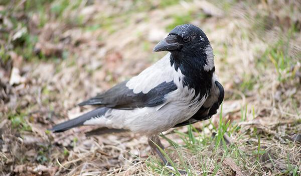 Фото: Как выглядит серая ворона