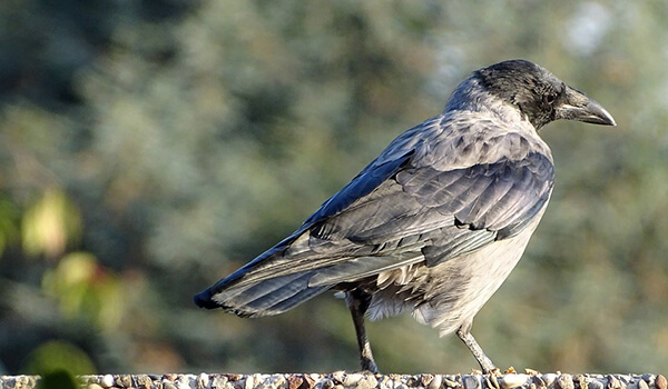 Фото: Серый ворон