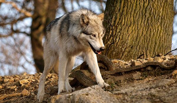 Фото: Серый волк в лесу