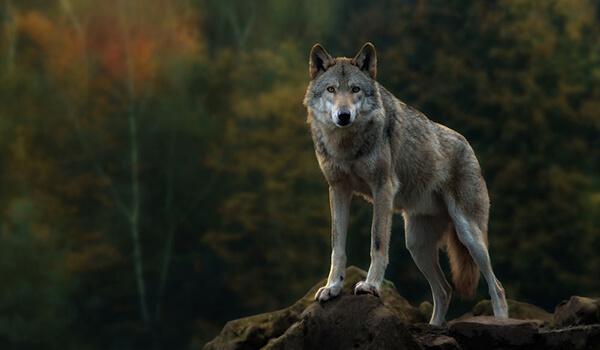 Фото: Как выглядит серый волк