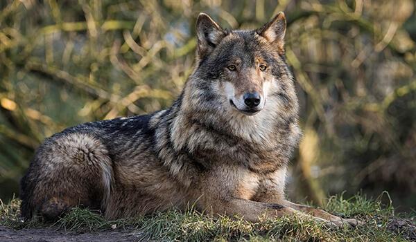 Фото: Серый волк