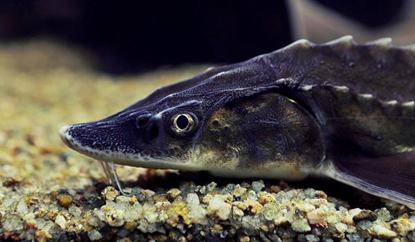 Фото: Рыба севрюга