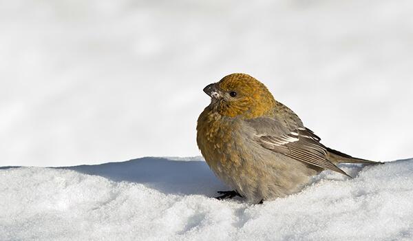 Фото: Птица щур