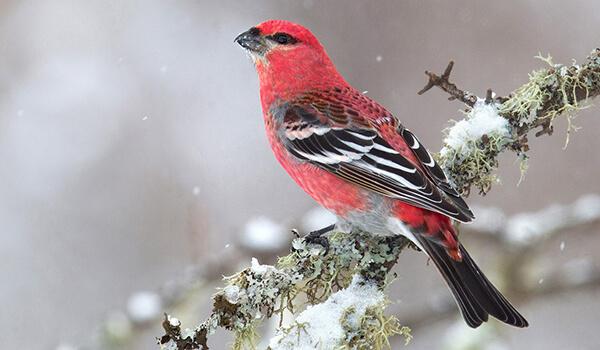 Фото: Щур зимой