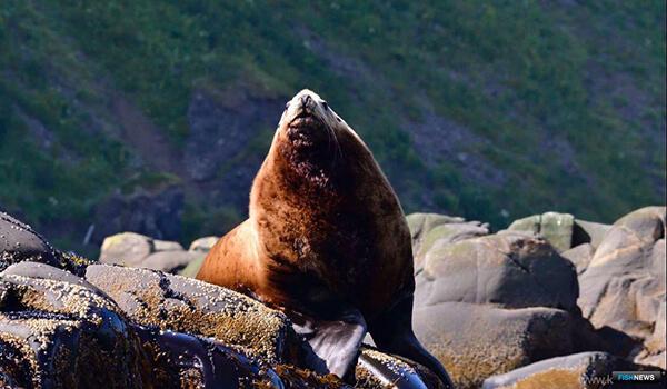 Фото: Морской лев сивуч