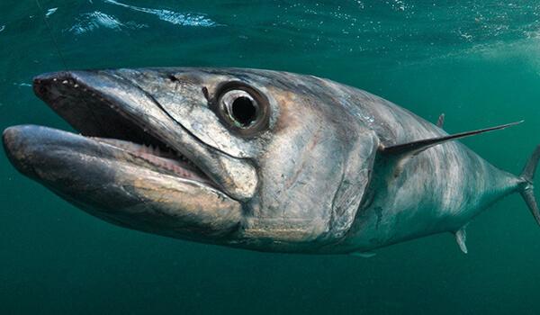 Фото: Рыба скумбрия