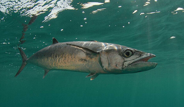 Фото: Морская скумбрия