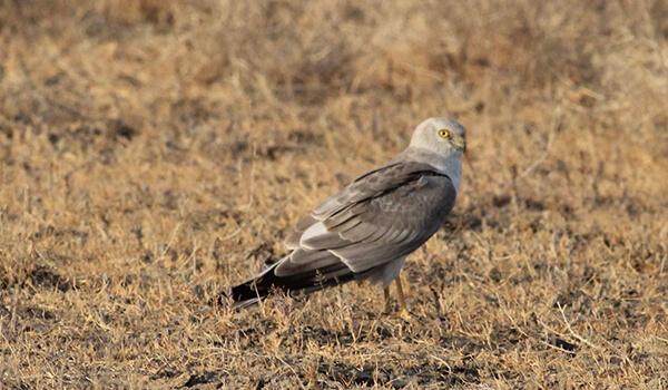 Фото: Птица степной лунь