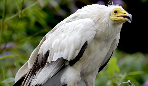 Фото: Птица стервятник