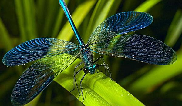 Фото: Голубая стрекоза