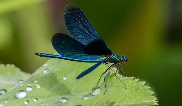 Фото: Синяя стрекоза