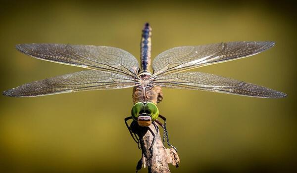 Фото: Как выглядит стрекоза