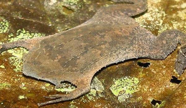 Фото: Жаба суринамская пипа