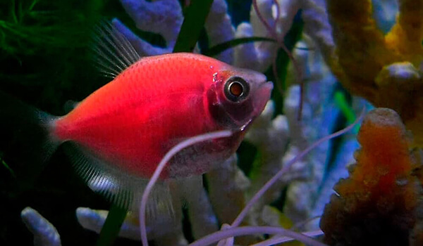 Фото: Рыбка тернеция