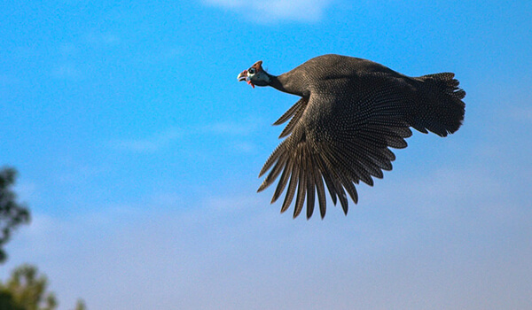 Фото: Цесарка в полёте