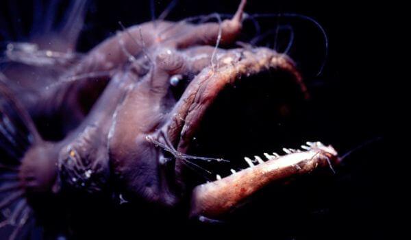 Фото: Глубоководный удильщик