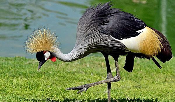 Фото: Птица венценосный журавль