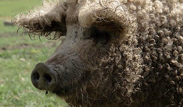 Фото: Венгерская пуховая мангалица
