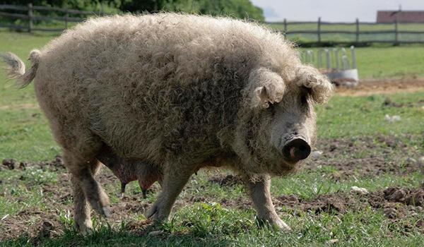 Фото: Свинья венгерская мангалица