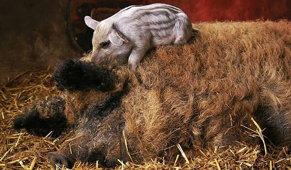 Фото: Детеныш венгерской мангалицы