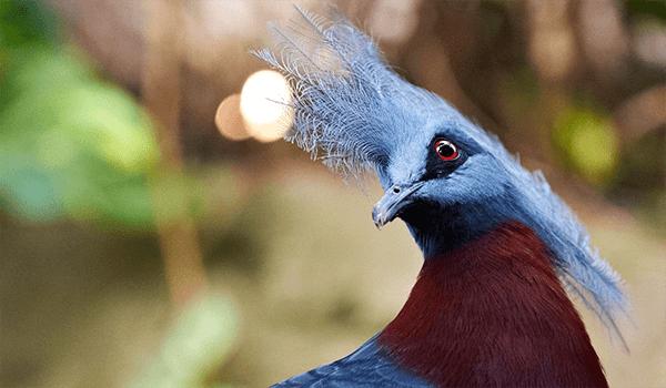 Фото: Как выглядит венценосный голубь