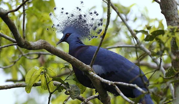 Фото: Венценосный голубь в Новой Гвинеи