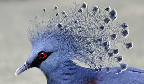 Фото: Веероносный венценосный голубь