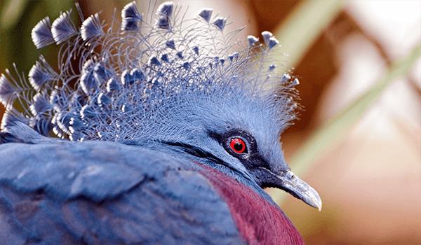 Фото: Венценосный голубь