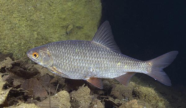 Фото: Рыба вобла