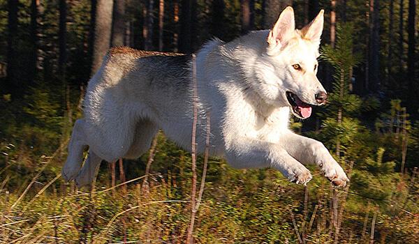 Фото: Собака волкособ