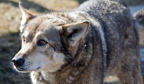 Фото: Собака породы волкособ