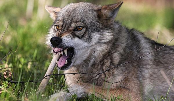 Фото: Как выглядит волкособ