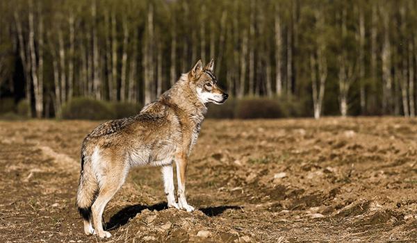 Фото: Волкособ
