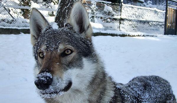 Фото: Волкособ зимой