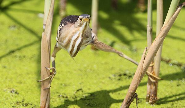 Фото: Птица выпь