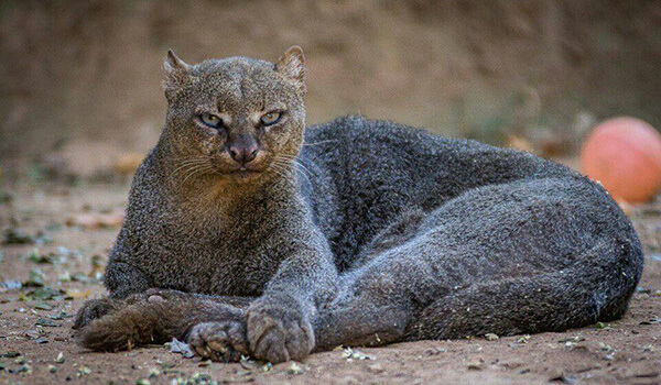 Фото: Кошка ягуарунди