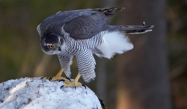 Фото: Птица ястреб тетеревятник