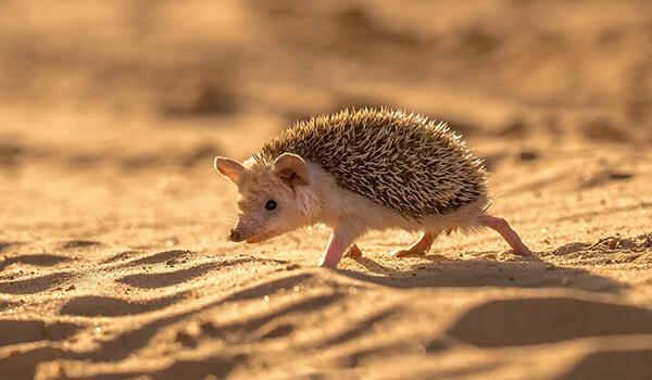 Фото: Ушастый ёж в пустыне