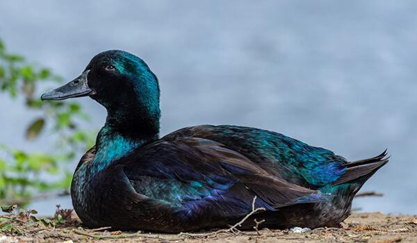 Фото: Как выглядит утка каюга